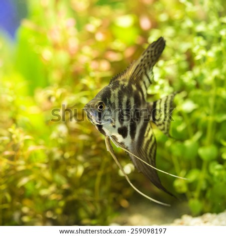 Angel Fish - stock photo
