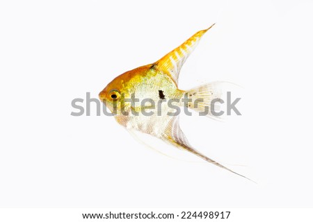 Angel Fish in isolate on white. - stock photo