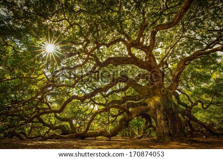 Angel Oak Tree on John's Island, South Carolina. This tree is located near Charleston and is over 1000 years old. It has withstood floods, droughts, fires, and hurricanes. Quite an impressive tree.  - stock photo