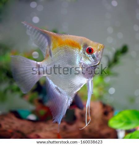 Angelfish (Pterophyllum scalare)  - stock photo