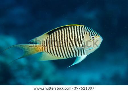 Angelfish swimming on the reef, underwater  - stock photo