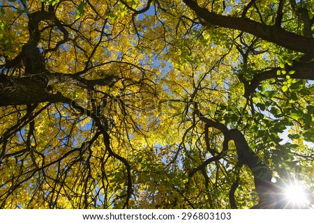 Angle, in plain nadir, the tops of mulberry trees, with sunlight penetrating between the branches in autumn  - stock photo
