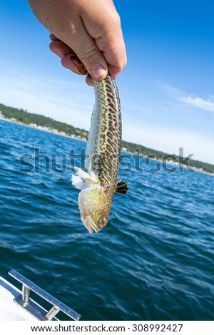 Angler holding poisonous Greater weever - stock photo