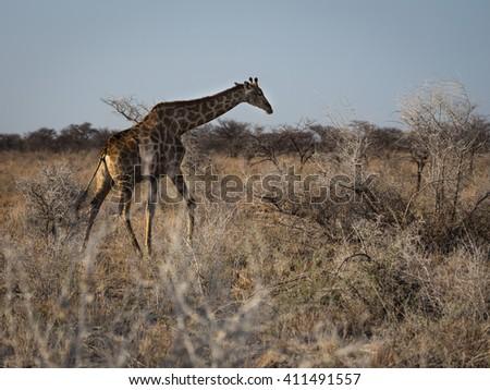 Angolan giraffe walking the open fields of Etosha national park, Namibia, Africa. - stock photo