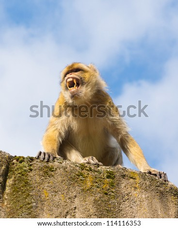 Angry berber monkey in the zoo (barbary macaque, macaca sylvanus) - stock photo