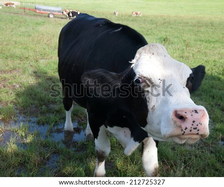 angry black cow threatening you - stock photo