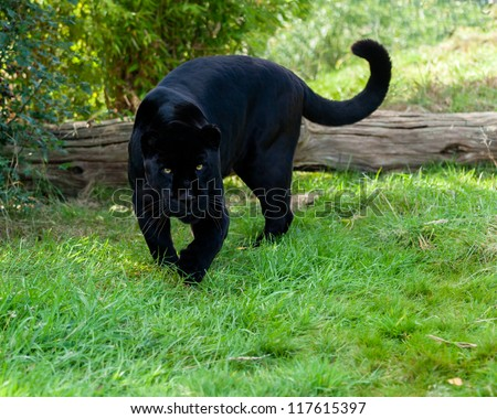 Angry Black Jaguar Stalking Forward Panthera Onca - stock photo