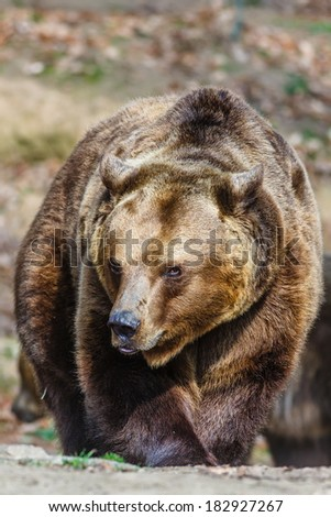 angry brown bear - stock photo