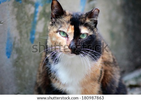 angry cat face - stock photo