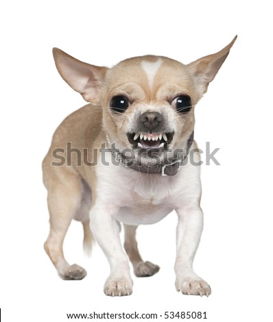 Angry Chihuahua growling, 2 years old, in front of white background - stock photo