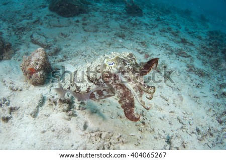 Angry cuttlefish  - stock photo