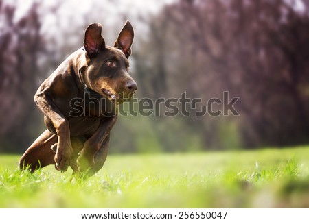 angry doberman pinscher dog running and protection - stock photo