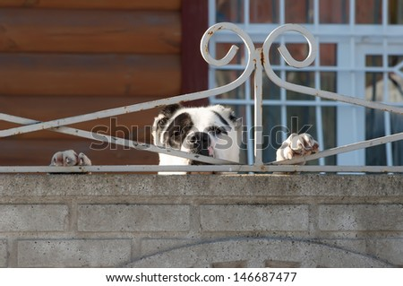 Angry dog behind fence and brick wall  - stock photo