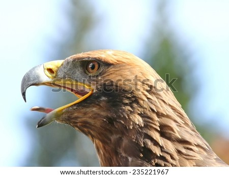 angry Eagle with open beak and tongue out - stock photo