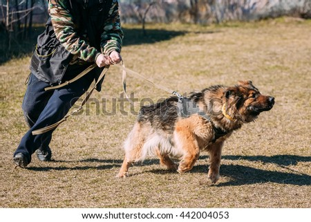 Angry German shepherd dog training. Biting dog. Alsatian Wolf Dog. Deutscher, dog - stock photo