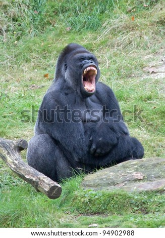 Angry gorilla - stock photo