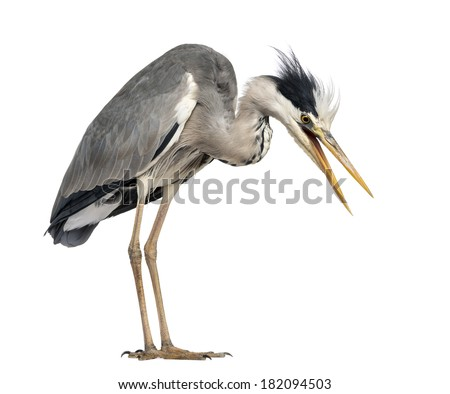 Angry Grey Heron, screaming, looking down, Ardea Cinerea, 5 years old, isolated on white - stock photo