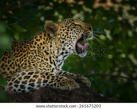 angry leopard in tree - stock photo