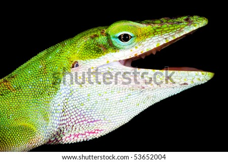 Angry Lizard - stock photo