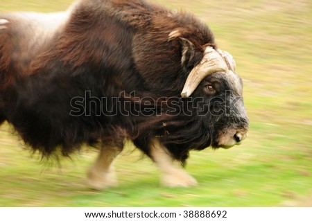 Angry muskox charging at high speed, motion blur with focus on the head - stock photo