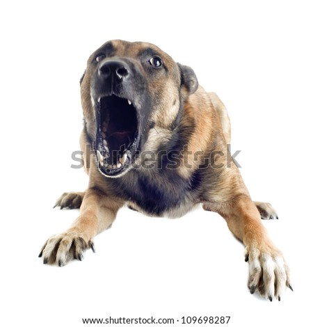 angry purebred belgian sheepdog malinois on a white background, focus on the eye - stock photo