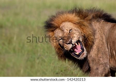 Angry roaring Lion of Olkiombo Pride in Masai Mara, Kenya - stock photo