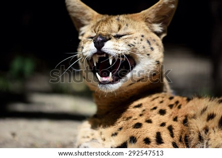 Angry serval cat - stock photo