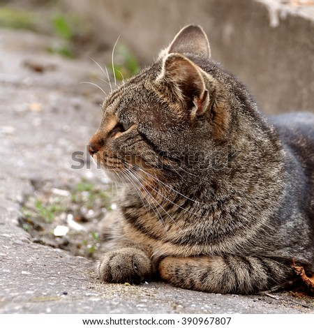 angry tabby cat profile - stock photo