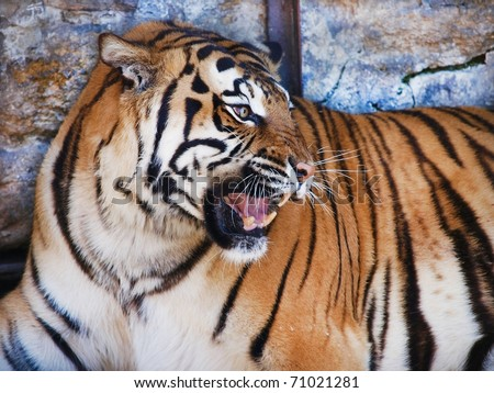 Angry tiger - stock photo