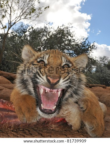 angry tiger defending its food - stock photo