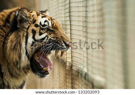 Angry tiger in the cage - stock photo
