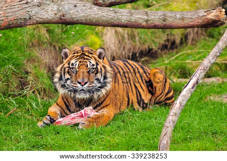 Angry tiger looks up towards the camera while eating - stock photo
