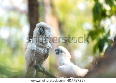 Angry white Cockatoo, Sulphur-crested Cockatoo (Cacatua galerita) - stock photo