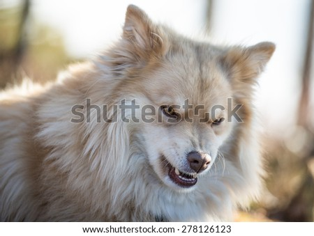 Angry white dog  - stock photo