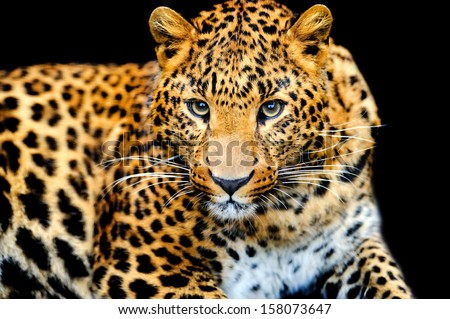 Angry wild leopard on black background - stock photo
