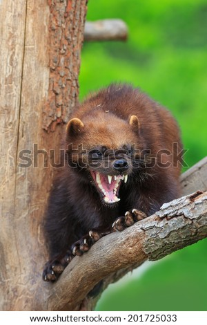 angry Wolverine  - stock photo