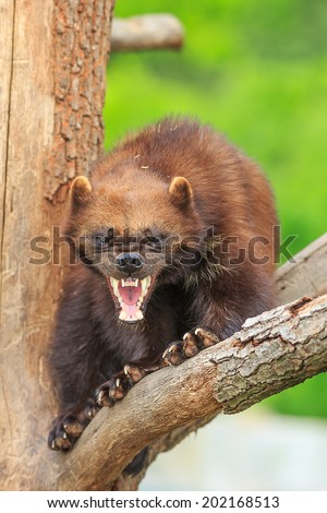 angry wolverine baring teeth - stock photo