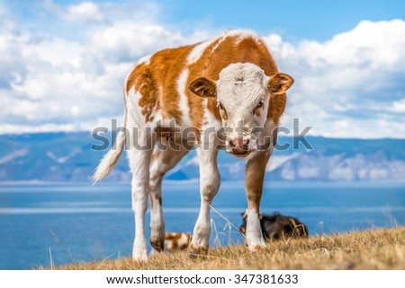 Angry young red cow with white spots against the sky - stock photo