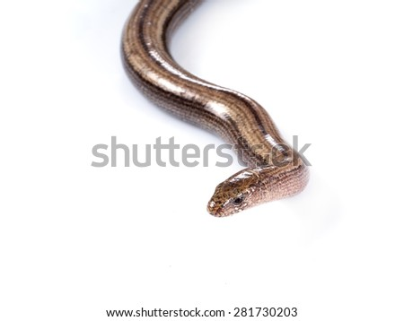Anguis fragilis, or slow worm, slow-worm or slowworm, on white background, facing camera. Reptile native to Eurasia. Aka blindworm or blind worm. - stock photo
