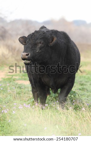 Angus bull eating grass in a meadow - stock photo