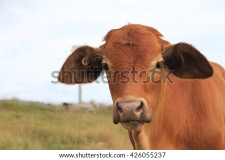 Angus Cross Brahman Cattle - stock photo