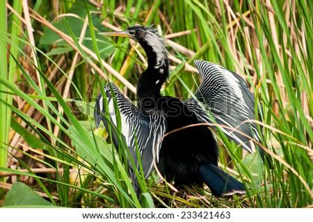 Anhinga bird broad winged - stock photo