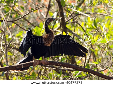 Anhinga commonly seen in the Florida Everglades - stock photo