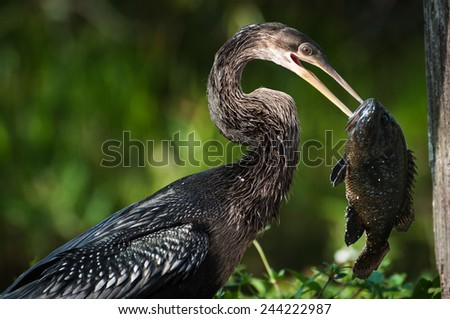 Anhinga holding a fish in the bill - stock photo
