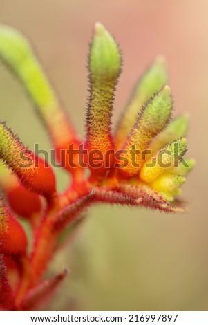 Anigozanthos manglesii flower, common name mangles kangaroo paw - stock photo