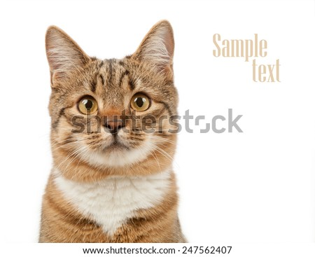 Animal concept. Cat isolated on white background. - stock photo