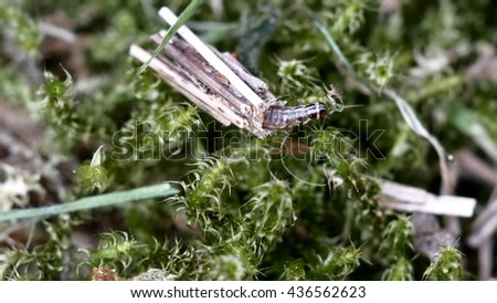 animal larva trichoptera on moss background - stock photo