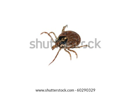 animal parasite tick isolated on white - stock photo
