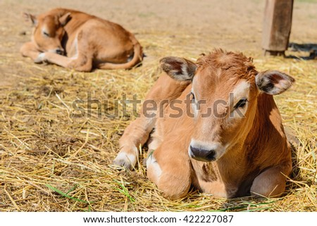 animal red calf child cow farm agriculture - stock photo