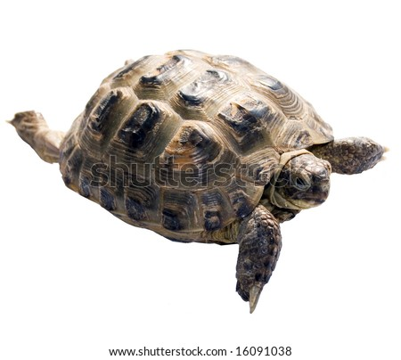 animal reptile turtle isolated object over white - stock photo